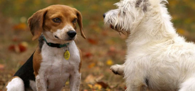 Litigi ed estro tra cani
